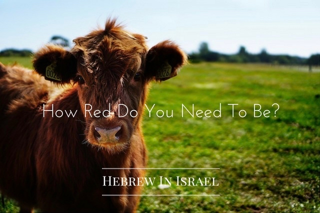 chukat, Chuqat, parah, red cow, red heifer, the red cow, this weeks torah portion, Torah Portion