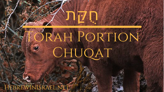 Torah Portion, this weeks torah portion, red heifer, red cow, parah, the red cow,